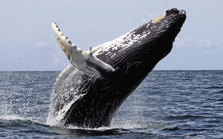 Япония до конца 2019 года планирует выловить 227 китов