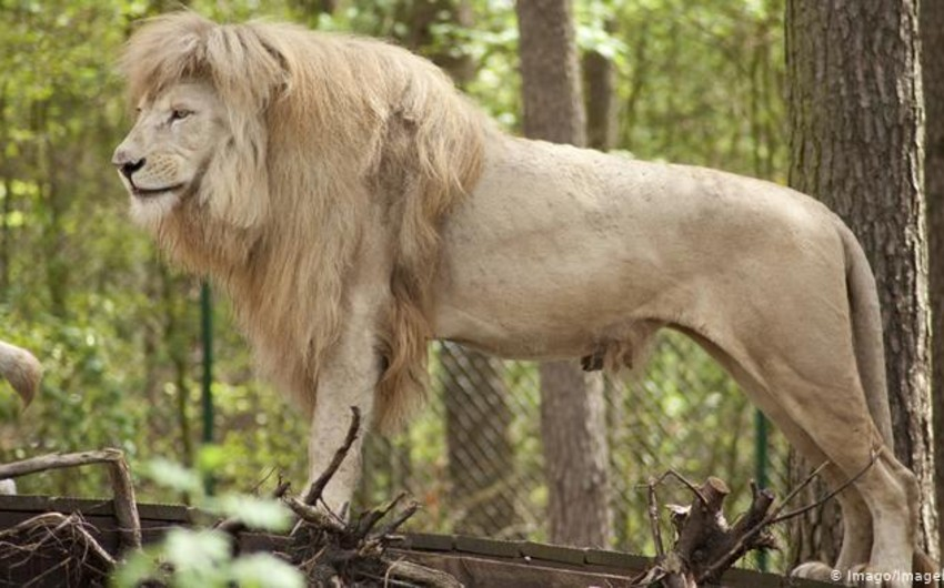 Almaniyada şirlər safari-parkın əməkdaşını ağır yaralayıb