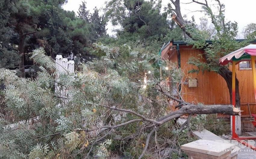В бакинском парке сломанные ветки деревьев упали на аттракционы - ФОТО