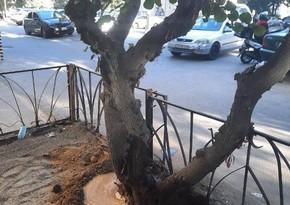 Bakıda ağacların dibi betondan təmizləndi