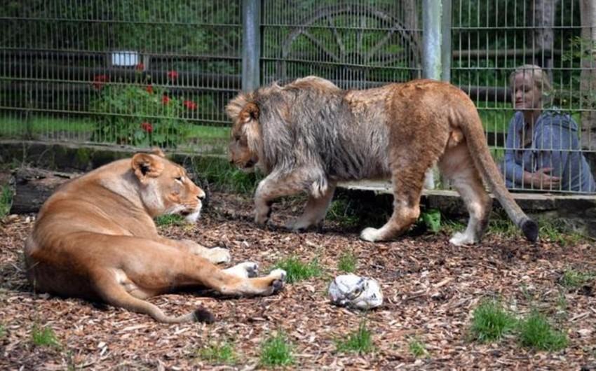Almaniyada zooparkdan qaçan 5 şir və pələng tutulub