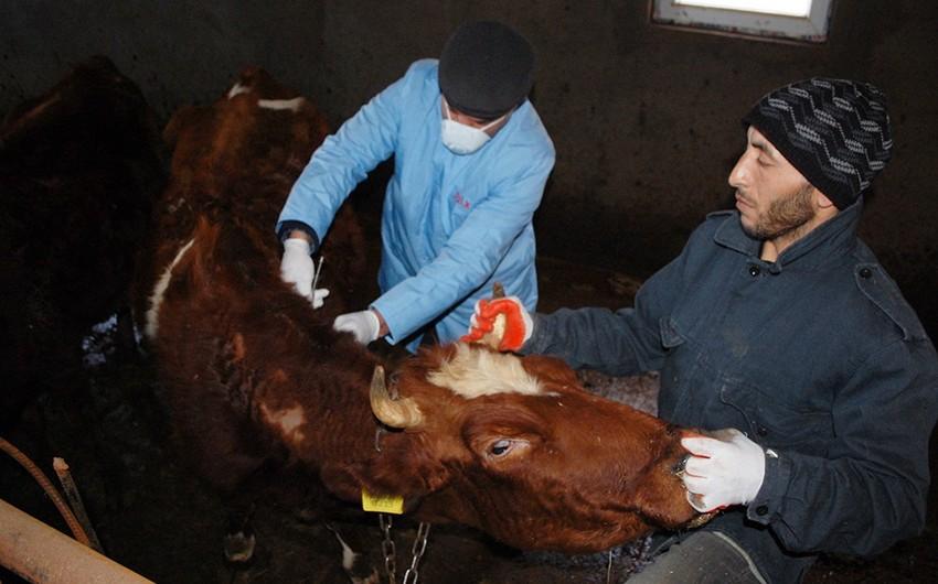 Qobustanda heyvanlar arasında profilaktiki peyvəndləmə tədbirlərinə başlanılıb
