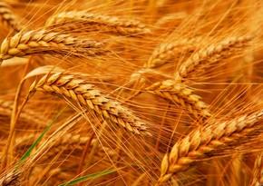Россия увеличила экспорт пшеницы почти на треть