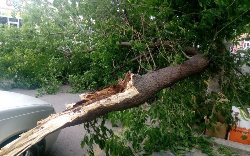 Güclü külək Bərdədə ağacları aşırıb