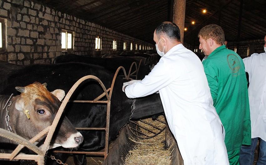 Qazaxda heyvanlar arasında profilaktik peyvəndləmə tədbirləri davam etdirilir