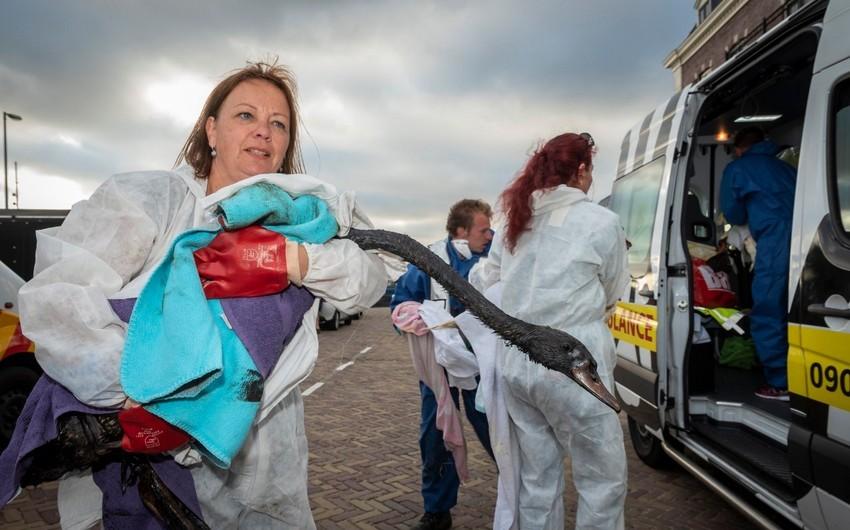 Niderlandda yüzlərlə quş neft sızması nəticəsində zərər çəkib