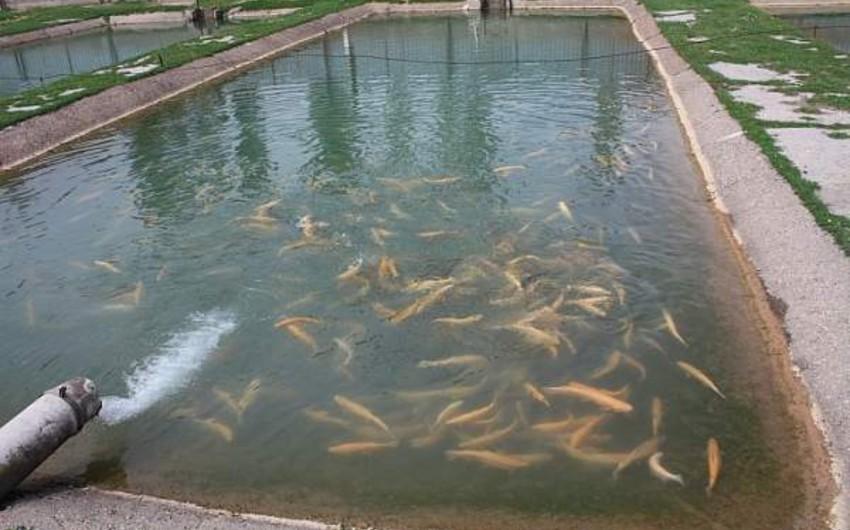Nazirlik: Süni göllərdə balıq yetişdirilməsi sahəsində problemlər var