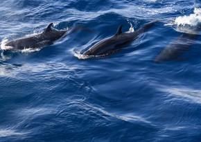 Yeni Zelandiyada 50-yə yaxın delfin sahilə atılıb