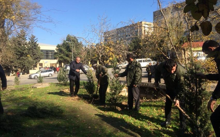 Bakıda məktəbin qarşısında qurumuş ağacların yerinə yeniləri əkilib