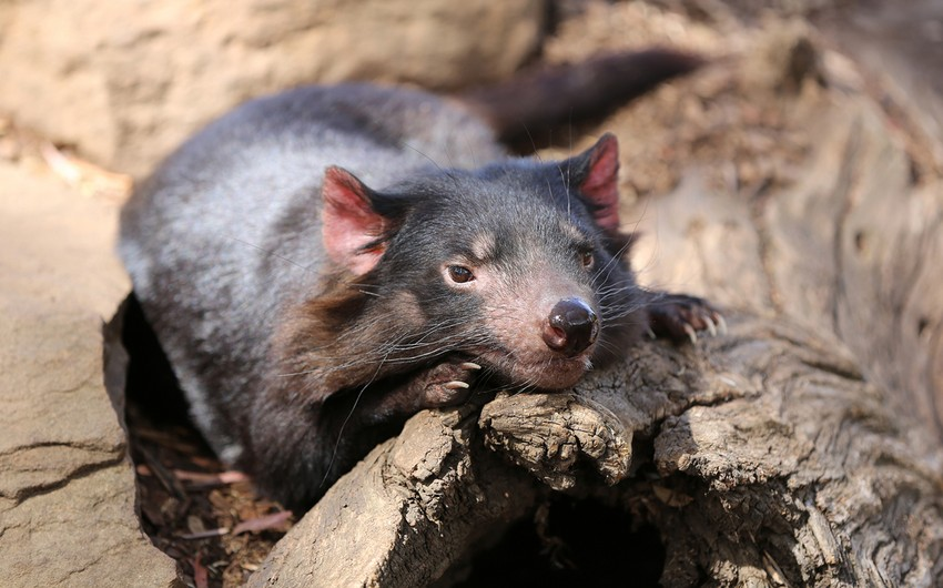 Tasmanian devils born in Australian wilderness for first time in 3,000 years