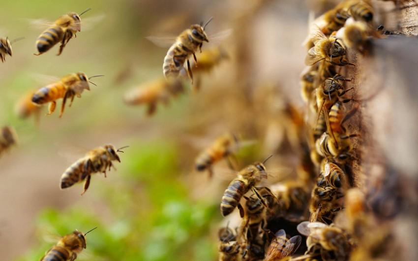 Meksikada arıların hücumu nəticəsində 24 nəfər xəsarət alıb