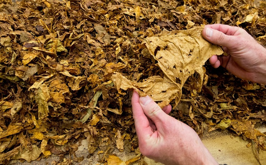 Azərbaycan tütün ixracını 30%-dən çox artırıb