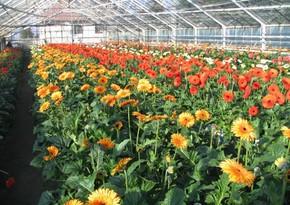 Азербайджанские цветоводы выйдут на новые рынки
