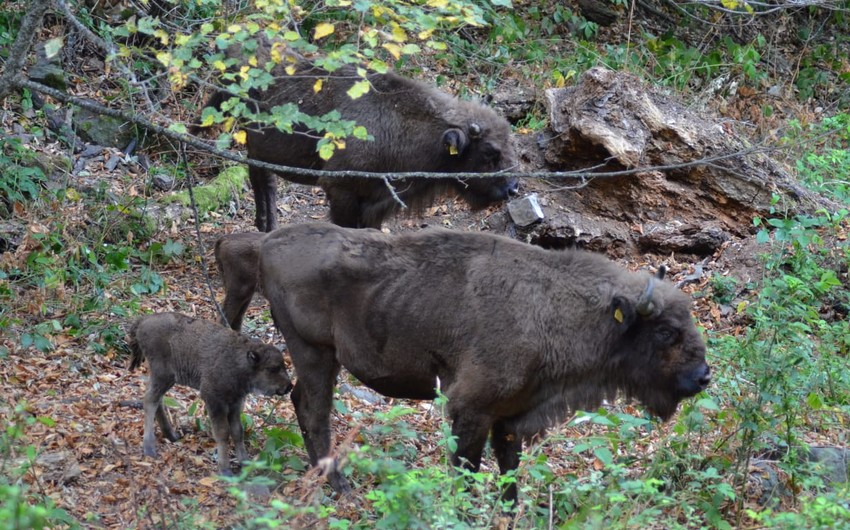 В Шахдагском национальном парке родился еще один детеныш зубра