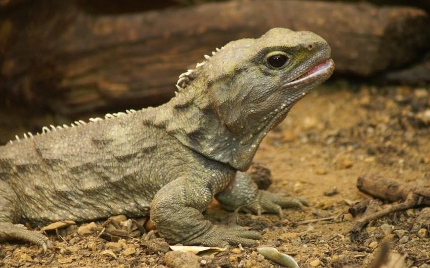 Назван выживший родственник динозавров