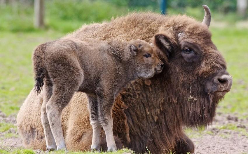В Шахдагcком национальном парке родился третий детеныш зубра
