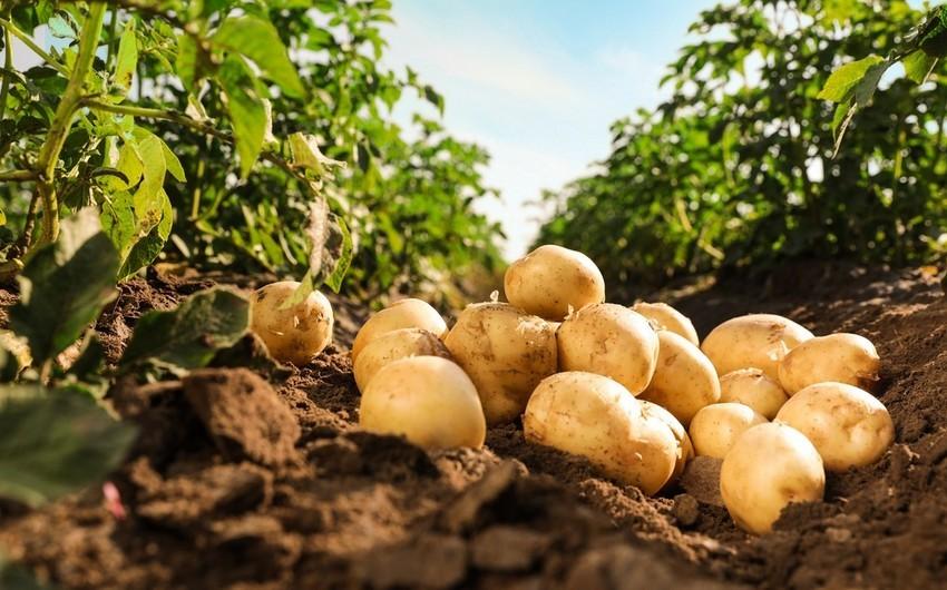 Россия может ограничить импорт картофеля из Азербайджана