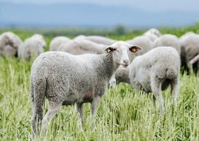 Azerbaijan buys purebred sheep from Europe