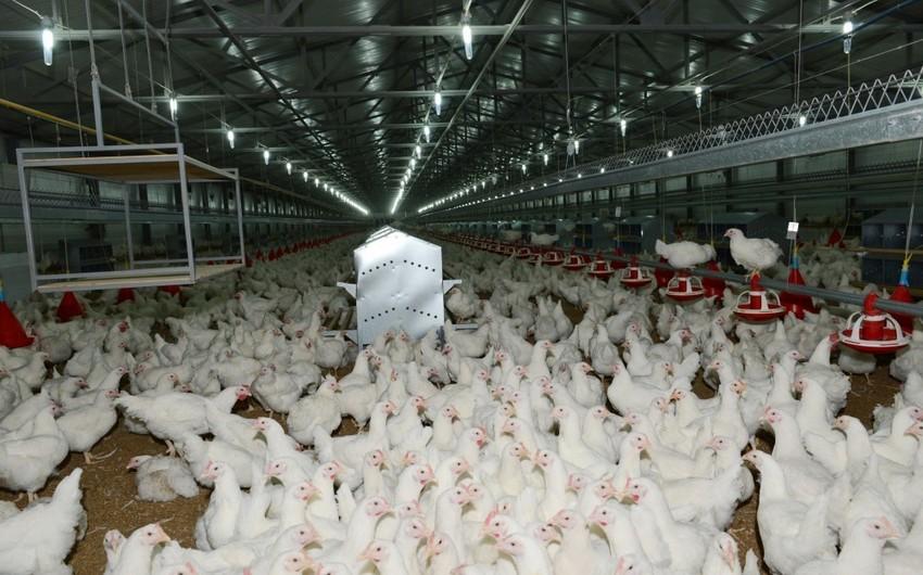 Bakıda quşçuluq fabrikindən 170 min manatlıq məhsul oğurlanıb
