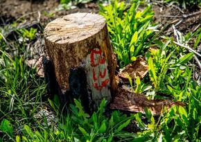 Ermənilər Füzulidə 1400 yaşı olan çinar ağacını məhv ediblər