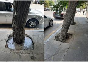 Nazirlik ağacların dibinin asfaltlanması ilə bağlı icra hakimiyyətlərinə müraciət edib