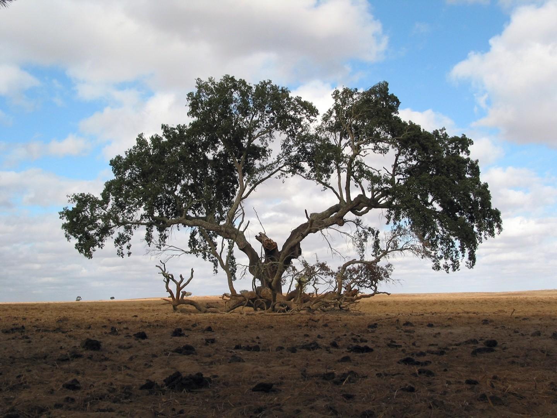 Bu rayonda yaşı keçmiş ağaclar daha çoxdur