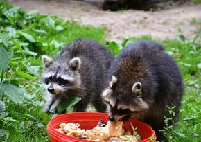 Kanada sakini mərhum arvadının vəsiyyəti ilə 17 ildir hər gün heyvanları yedirir