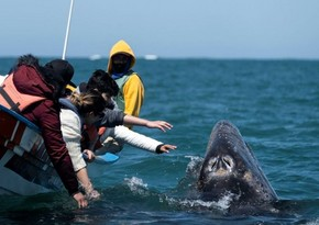 На берег Калифорнии за девять дней выбросило четырех погибших китов