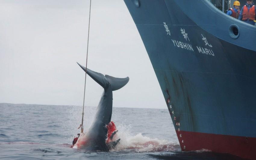 Avstraliya Yaponiyanın Antarktidada balina ovuna başlamaq qərarını pisləyib