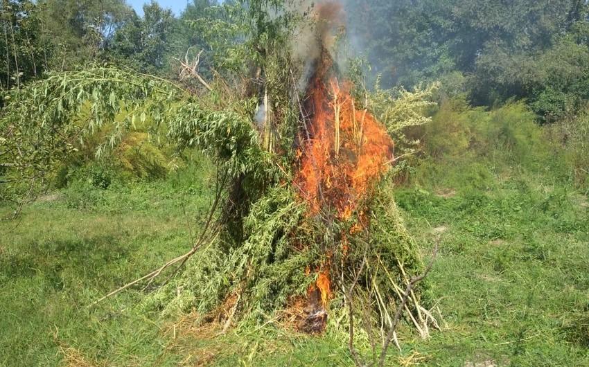 Yardımlıda 15 tondan çox narkotik bitki məhv edildi