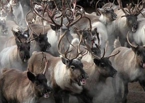 Baku resident can't get money for sold 60 deers