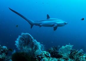 В Австралии запускается крупнейшая в мире программа по контролю за акулами