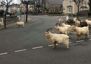İngiltərədə boş qalmış küçələri dağ keçiləri doldurdu - VİDEO