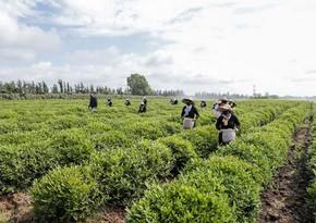Gürcüstan Azərbaycandan çay idxalını 3 % artırıb