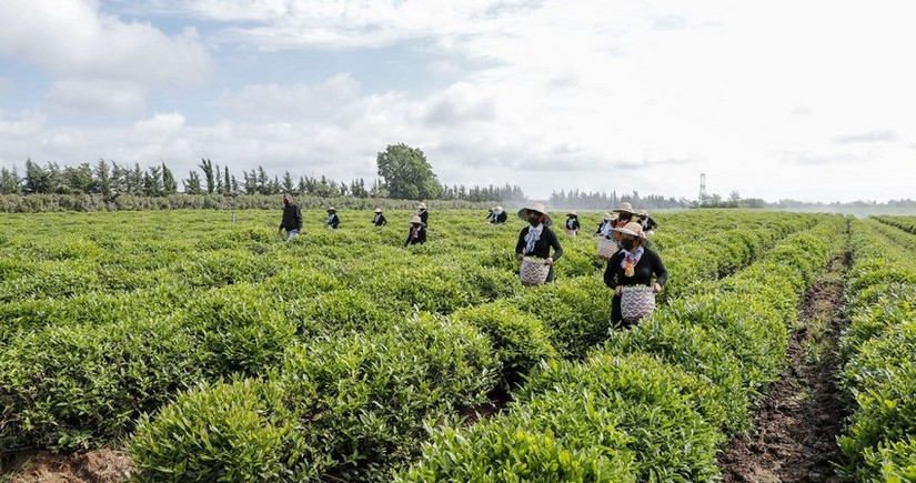 Georgia increases tea imports from Azerbaijan 3%