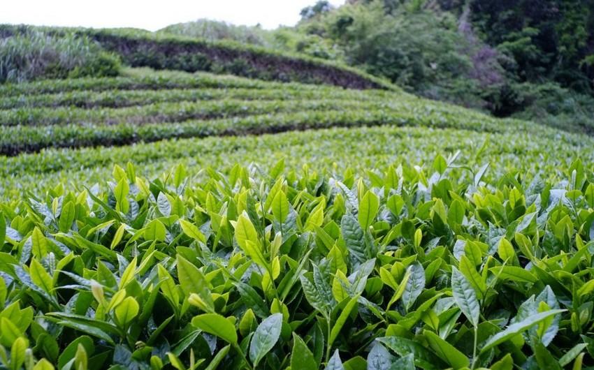 EBRD Azərbaycan və Gürcüstanın çay sektoruna dəstək göstərməyə hazırdır