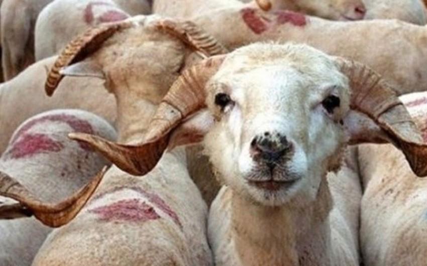 В Турции непроданных на праздник жертвенных животных скупит государство
