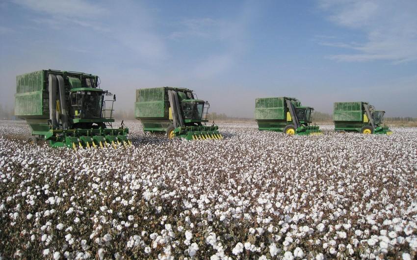 Bu il Azərbaycanda 82 min tondan artıq pambıq yığılıb