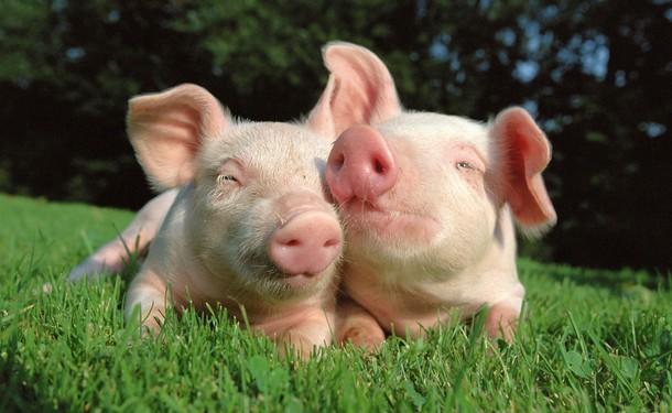 Марихуана и свиньи иван конопля