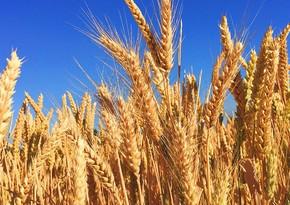 Аргентина первой в мире одобрила генетически модифицированную пшеницу