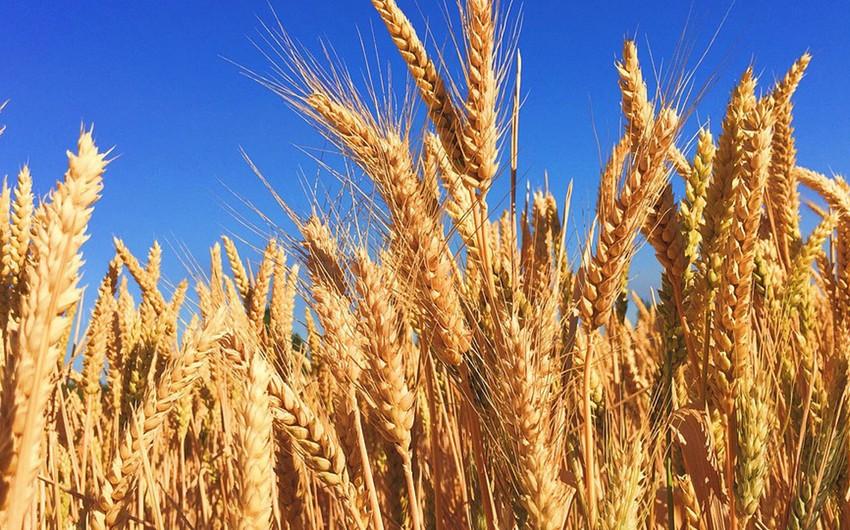 Dünyada ilk dəfə GMO buğdası üçün rəsmi icazə verildi