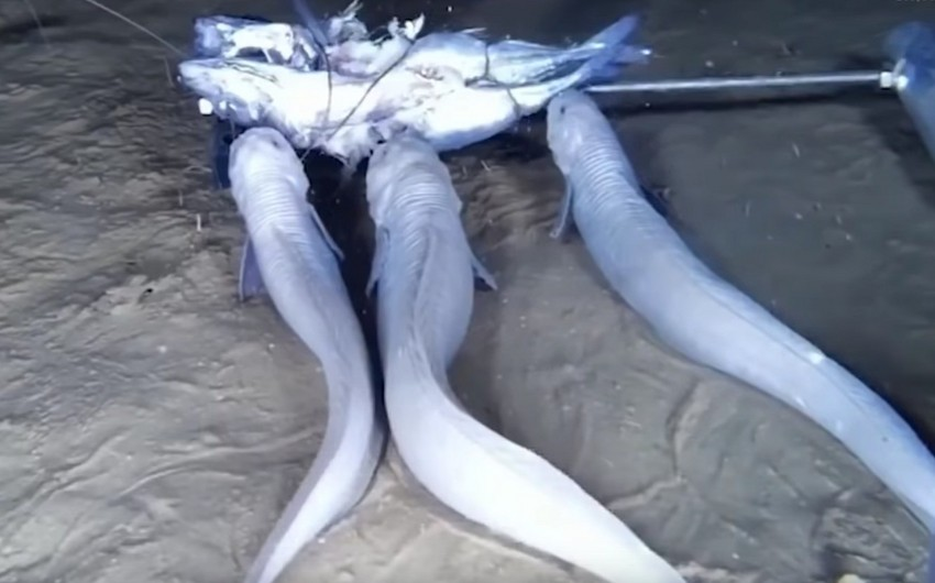 Sakit okeanın dibində üç yeni canlı növü aşkar edilib