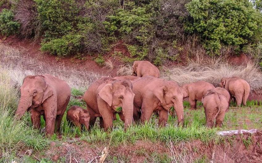 Çində 150 min nəfər sakin fil sürüsünə görə təxliyə edilib