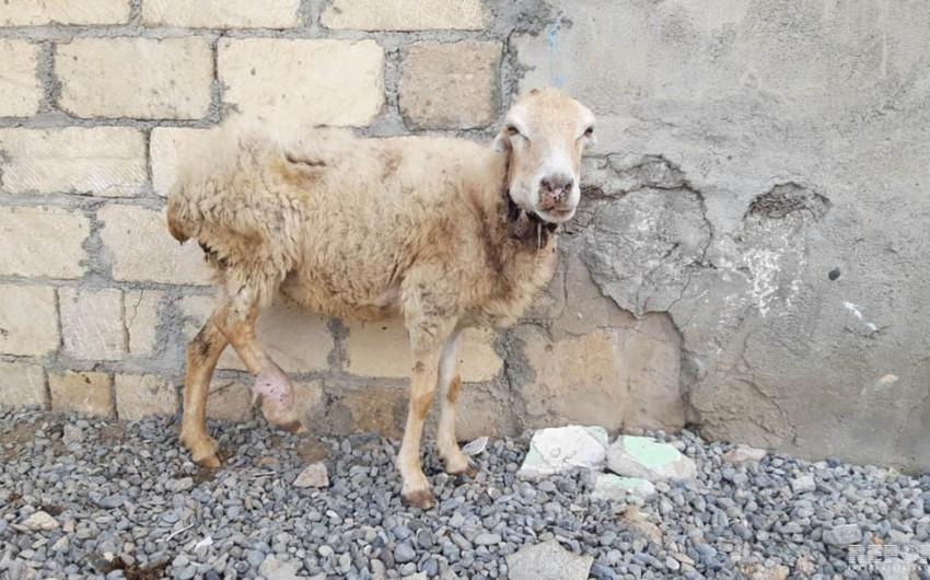 Bərdədə canavarlar 17 qoyunu parçalayıb - FOTO