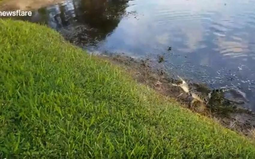 ABŞ-da balıqçının tilovuna timsah düşüb - VİDEO