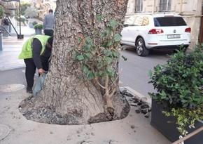 Bakıda ağacın dibi asfaltdan təmizlənib