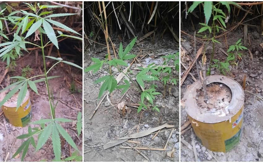Saatlıda narkotik bitki yetişdirən şəxs saxlanılıb