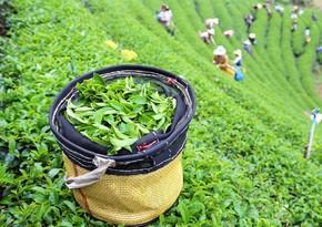 Bu il Gürcüstan Azərbaycandan 500 tona yaxın çay alıb