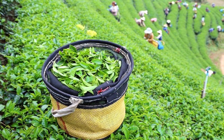В этом году Грузия закупила у Азербайджана около 500 тонн чая