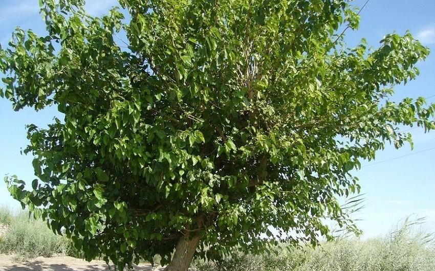 Goranboyda yaşlı kişi ağacdan yıxılaraq ağır xəsarət alıb